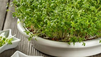 Как самостоятельно на подоконнике выстастить такую полезную, но дорогую микрозелень