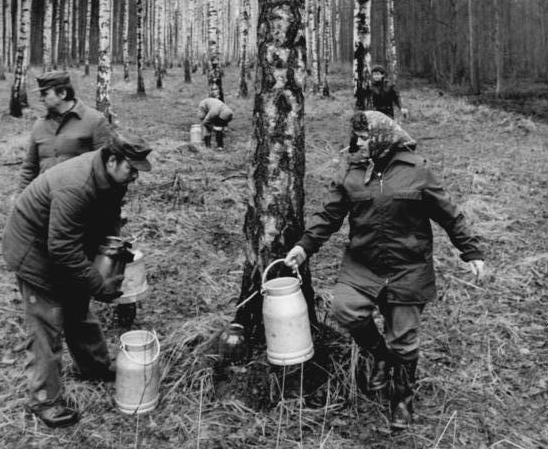 Сбор берёзового сока в СССР