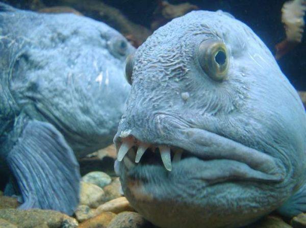 Зубатка под водой