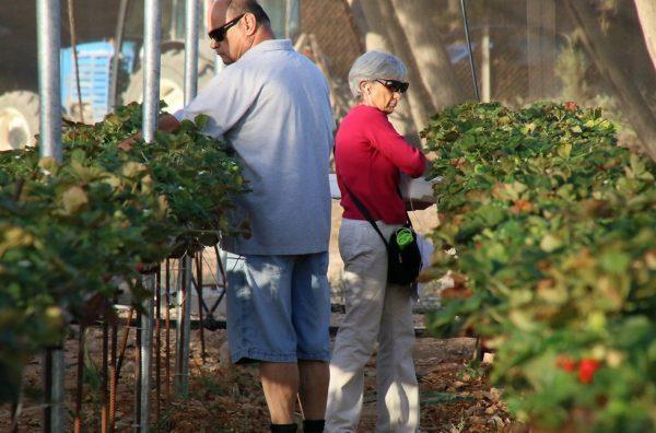 Люди собирают ягоды в Израиле