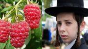 В Израиле малину отнесли к некошерным продуктам и запретили продавать в кошерных магазинах