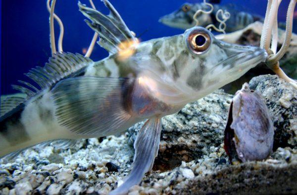 Ледяная рыба в антарктических водах. Фото habr.com
