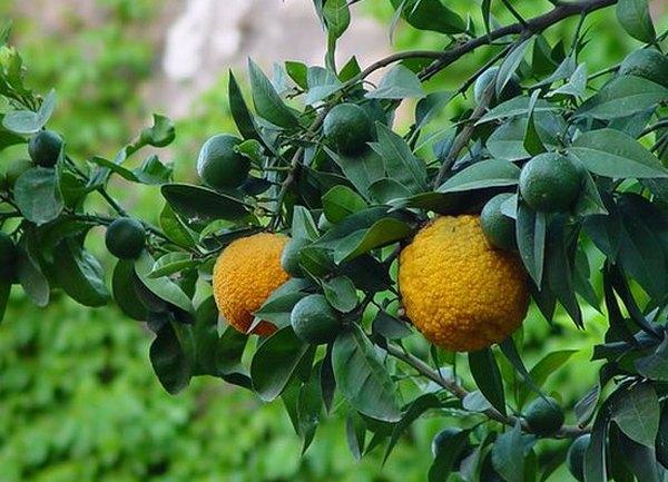 Оранжевый бергамот