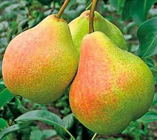 Плоды груши Гера