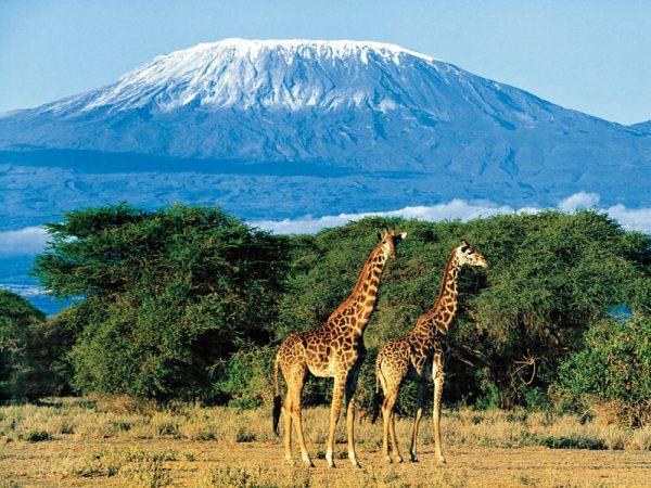 Килиманджаро в 2020 году. Фото rossaprimavera.ru