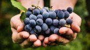 Наслаждаемся и лечимся солнечным лекарством – вкусный и целебный виноград