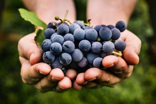 Виноград. Фото joinfo.com